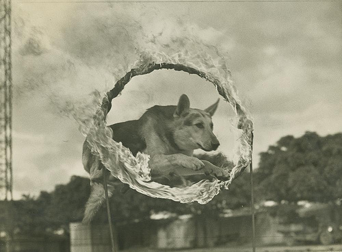 German shepherd jumping through a ring of fire